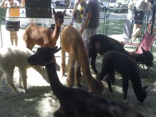 Alpaca babies for sale