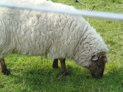 Iona_sheep