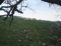 Sheep_at_cairns