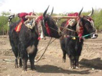 200pxin_tibet_yaks_are_decorated_and_hon