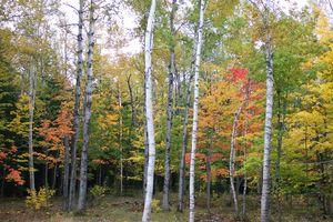 Birch_grove_behind_house_fall_2002
