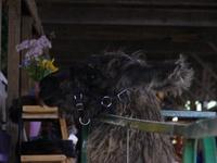 Its_a_llama_frolic_06