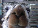 Llama_nose
