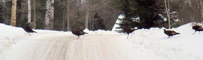 Longer_turkey_crossing